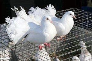 Выставка голубей в Тихорецке
