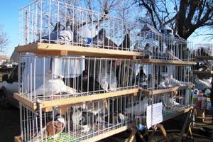 Выставка голубей в г.Мелитополь