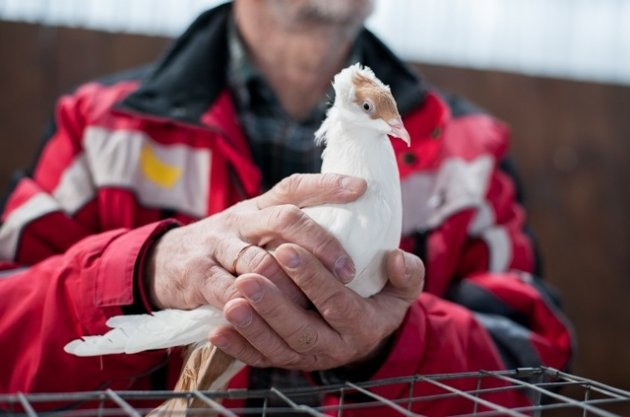 Выставка голубей. г.Переславль