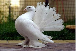 Анонс выставки голубей в Мелитополе