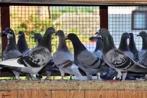 Почтовые голуби передают знания по наследству
