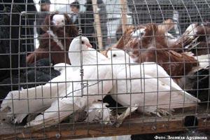 Выставка-голубей-г.Курган