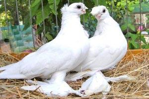 Выставка-голубей.--Ачинск