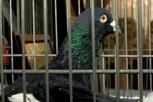 выставка-голубей