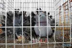 голуби в Ананьево