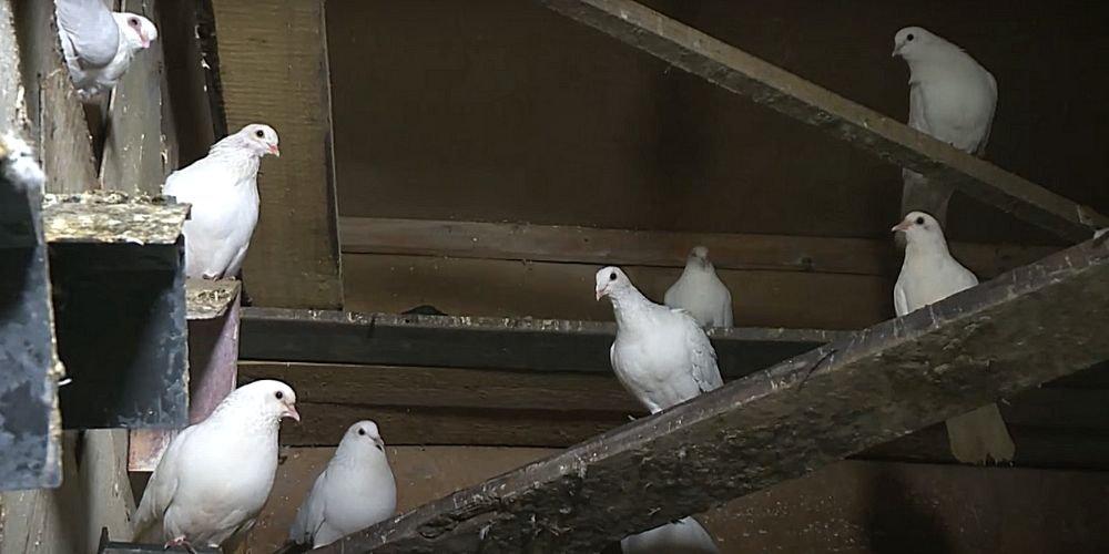 Умные голуби. Птицы в мегаполисе