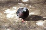 Похищение голубей