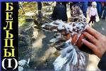 Выставка голубей в г.Бельцы