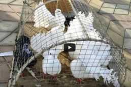 выставка голубей, г.Овидополь