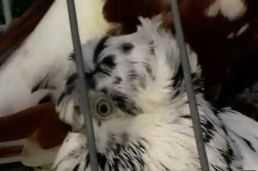 Выставка голубей в Кропоткине