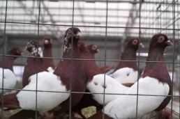 Ярмарка голубей в Москве