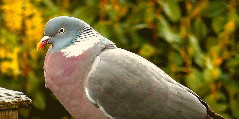 Самец лесного голубя
