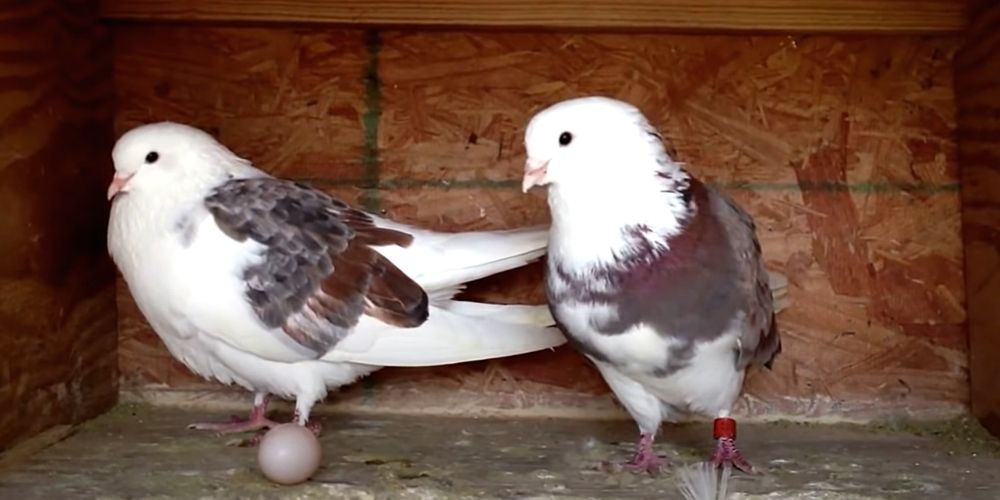 вольер для голубей и птиц