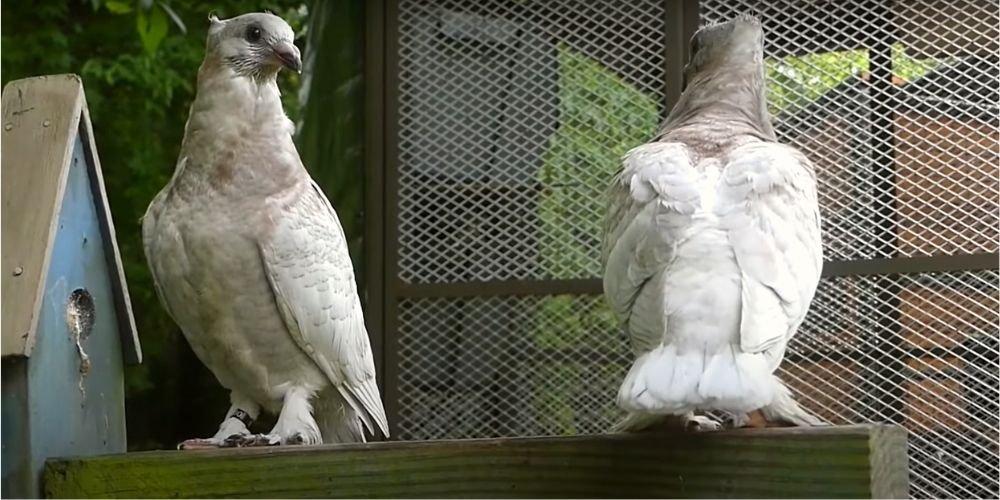 Выбор голубей
