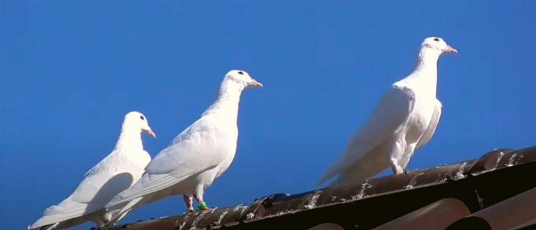 Где голуби живут
