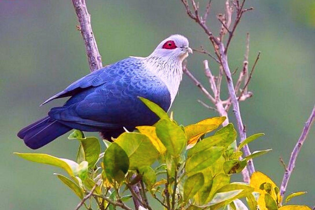 Коморский синий голубь