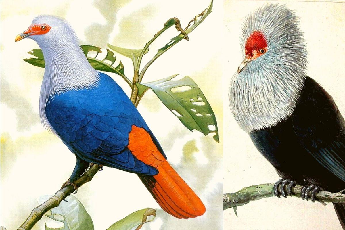 Маврикийский синий голубь
