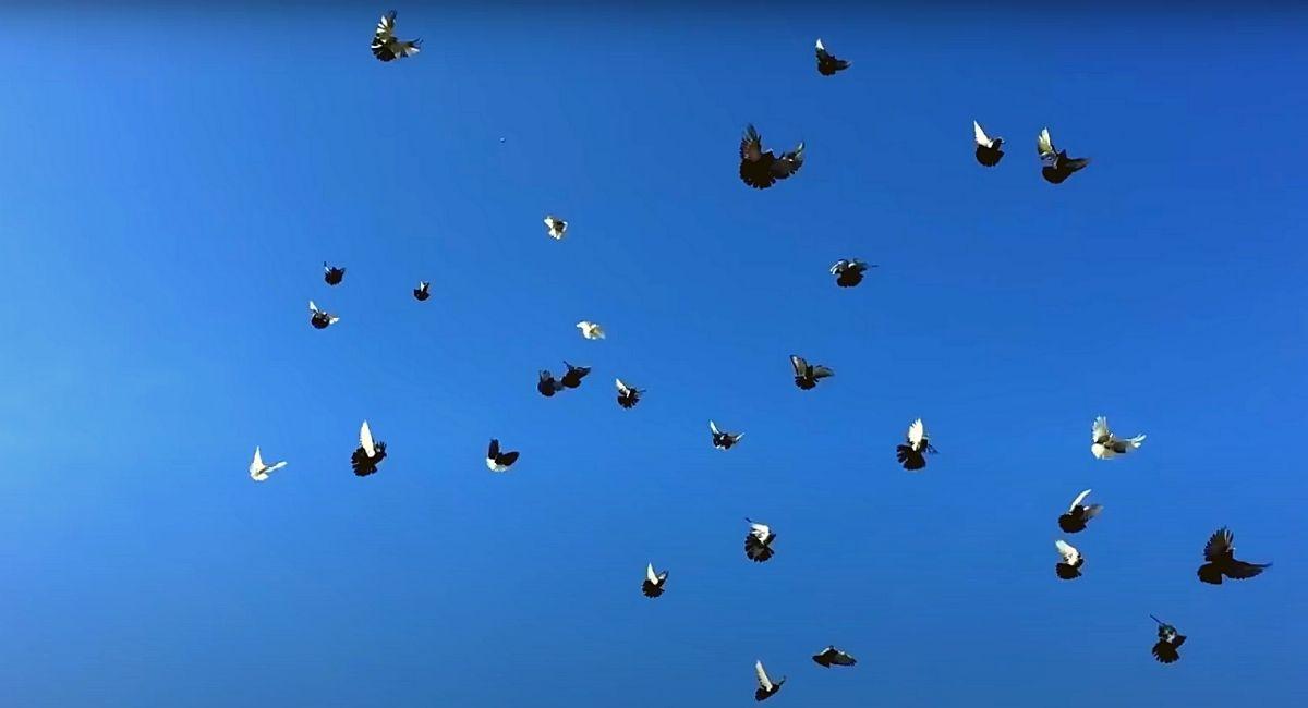 Николаевские голуби видео 2021, подборка самых интересных обзоров