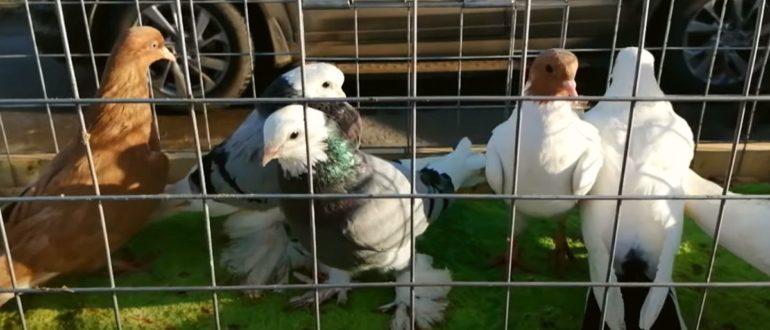 Обзор выставки - ярмарки голубей в городе Сальск 30.01.2021
