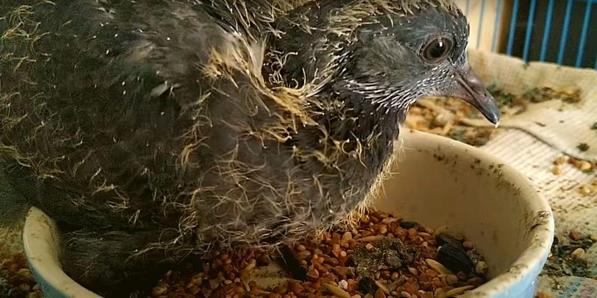 Питание птенцов голубя