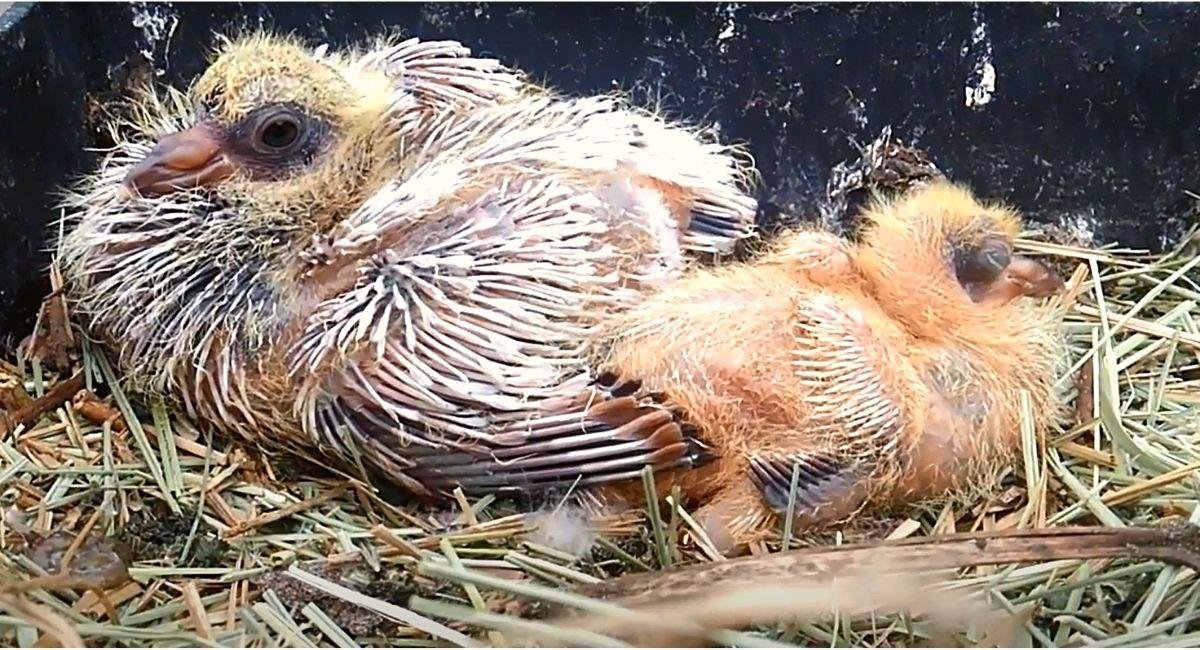 Разница птенцов в один день