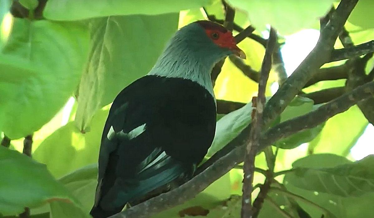 Сейшельский синий голубь