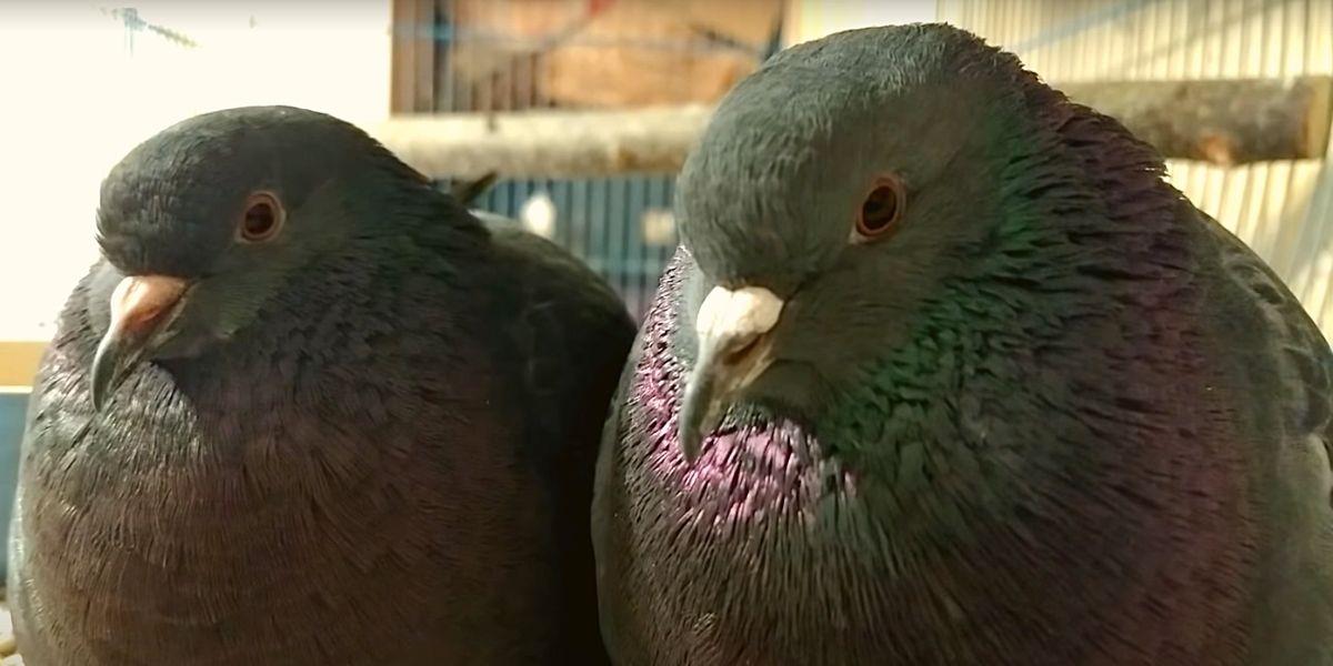 Семейная пара голубей