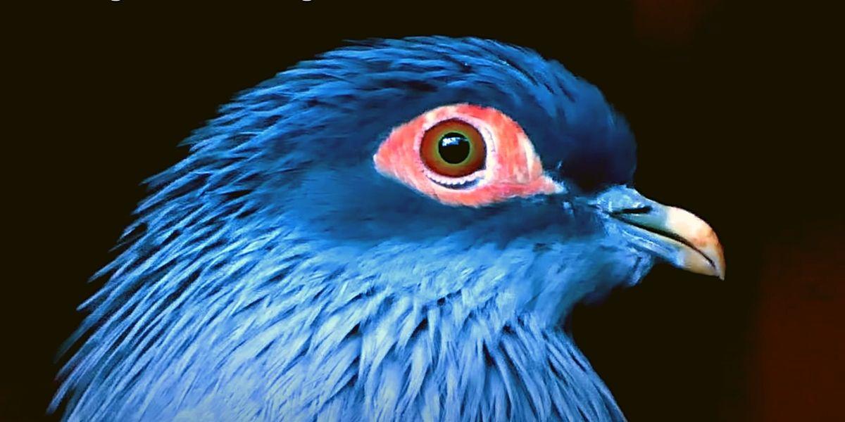 Синий голубь