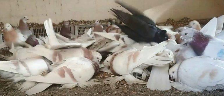 Видео - обзор бойных голубей Казахстана г. Алматы