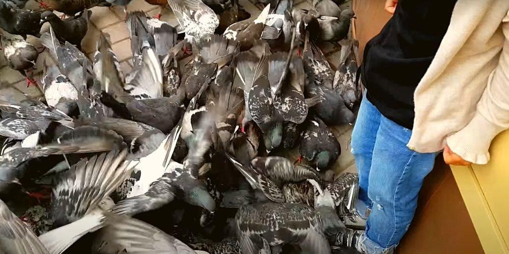 Видео приколы про голубей (подборка) 1