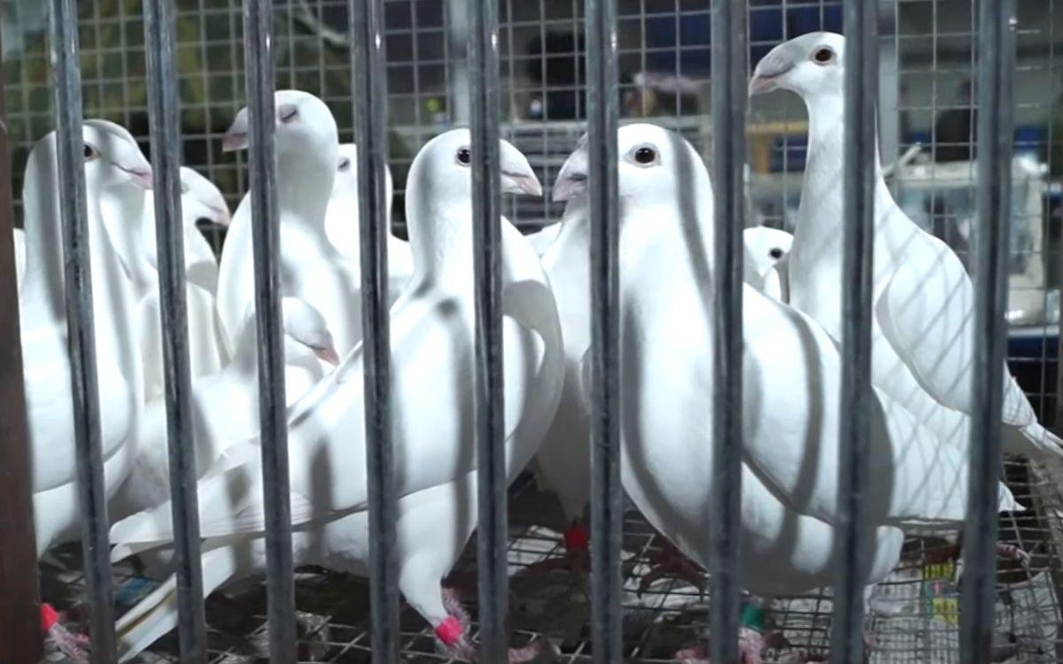 Ярмарка голубей в Москве 16.01.2021