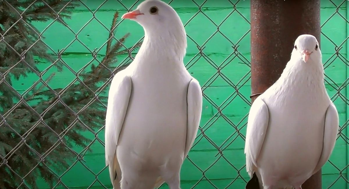 Бакинские белые голоногие голуби
