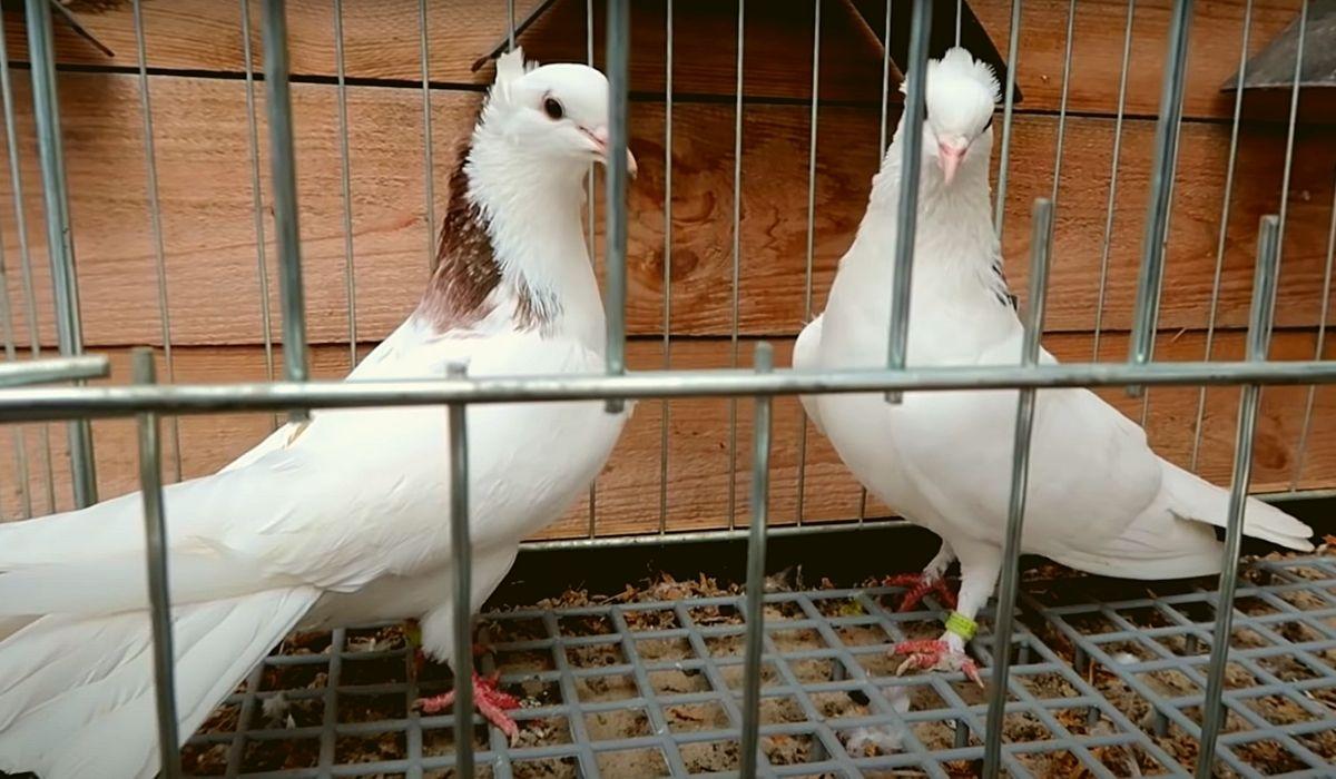 Бакинские бойные голуби