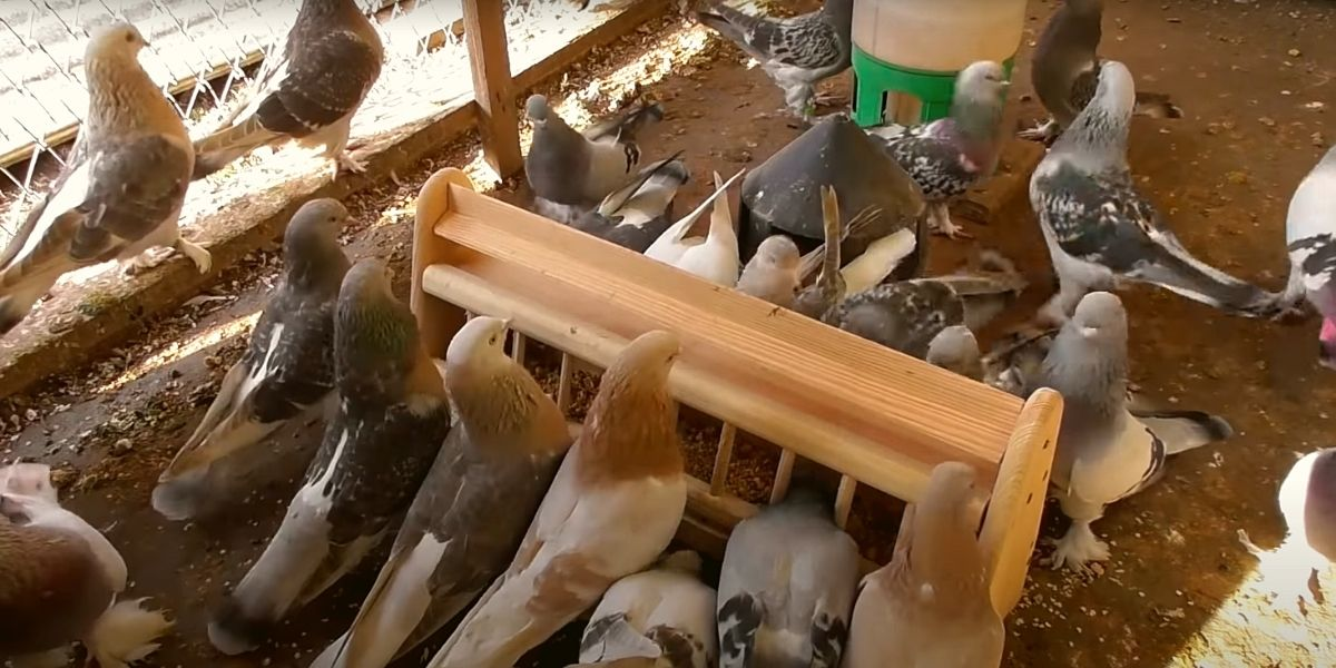 Кормление племенных голубей