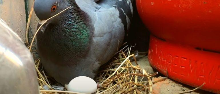 голубь и яйцо
