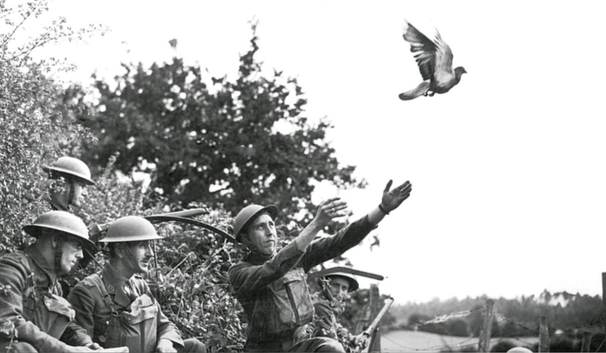 Голубь вторая мировая война