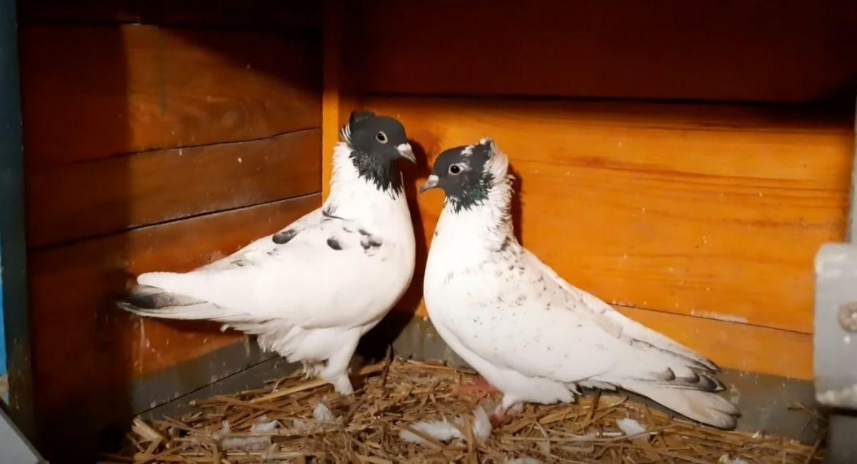 Иранские головатые голуби
