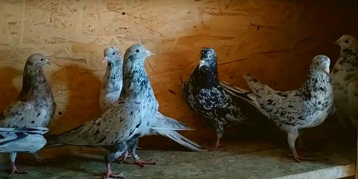 Мраморные голуби