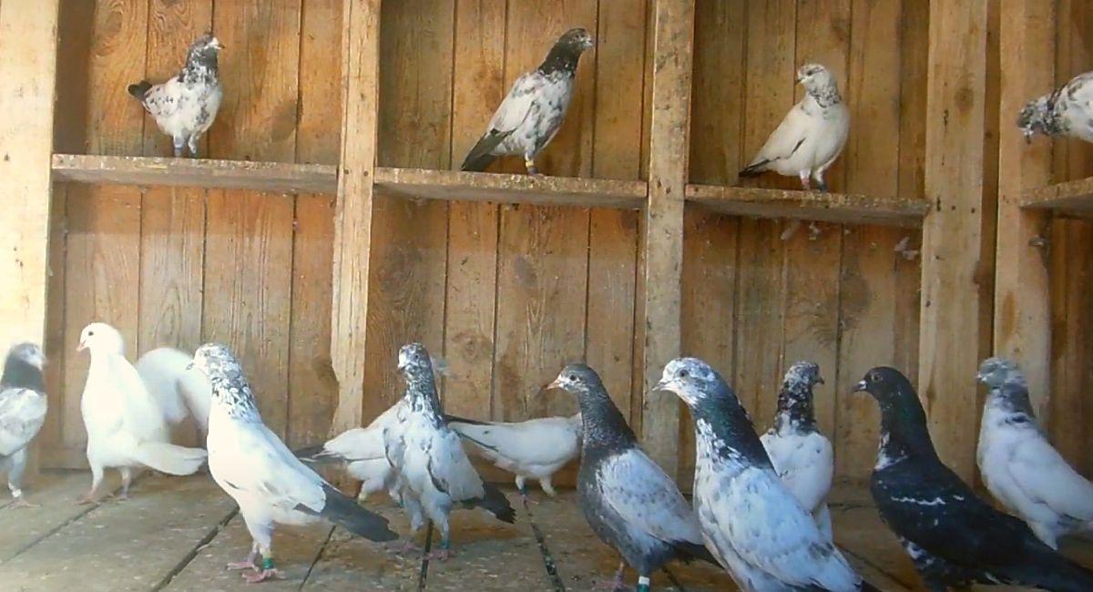 Пакистанские бойные голуби