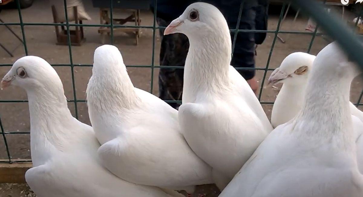 почтовые голуби чехи