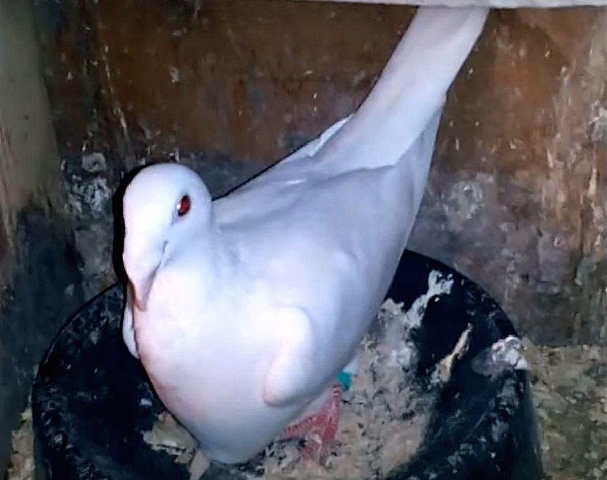 почтовые голуби Русская порода