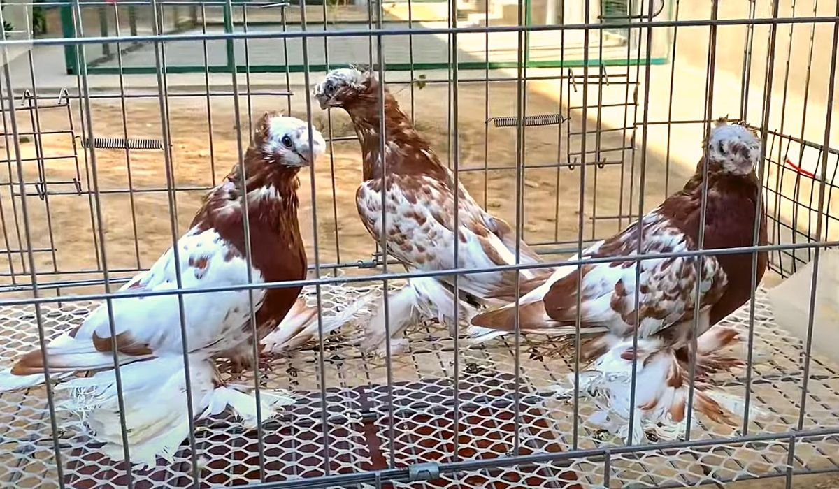 Узбекские двухчубые голуби