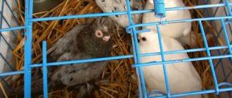 Видео обзор выставки ярмарки домашних голубей в Оренбурге 07.02.2021