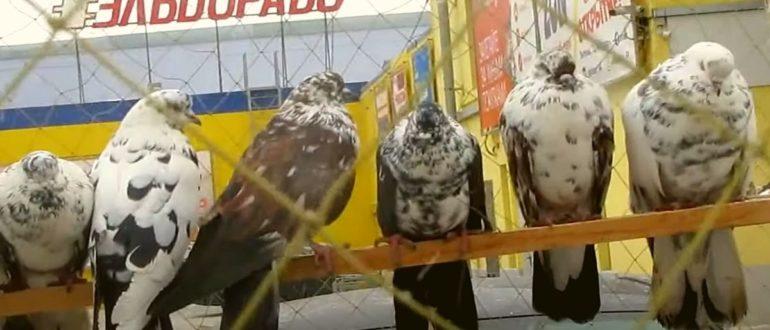 Видео обзор ярмарки голубей в г Энгельс от 30.01.2021
