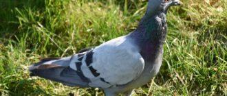 выставка голубей в Румынии