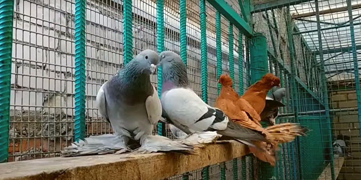 Северокавказские голуби бойные
