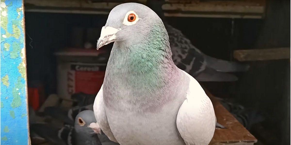 волгоградский голубь