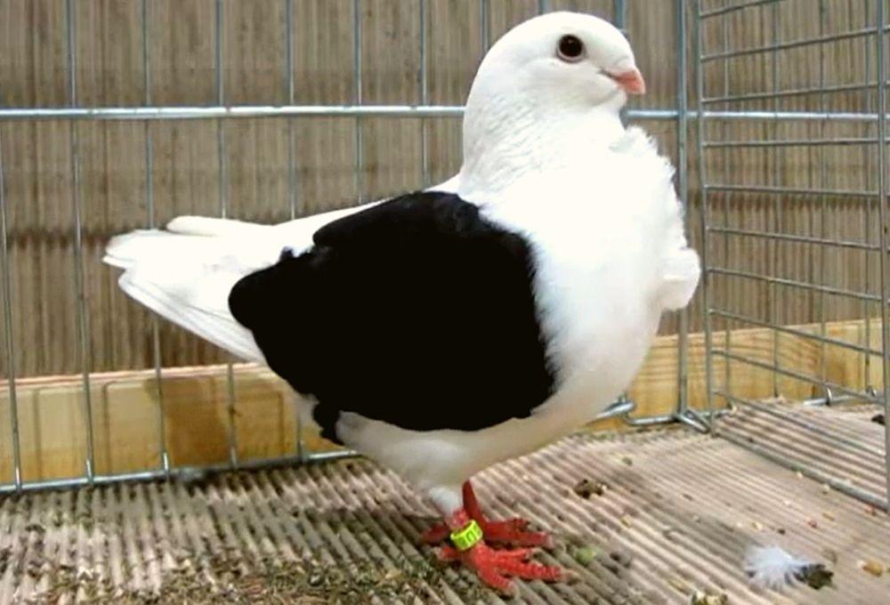 Аахенская чайка фото