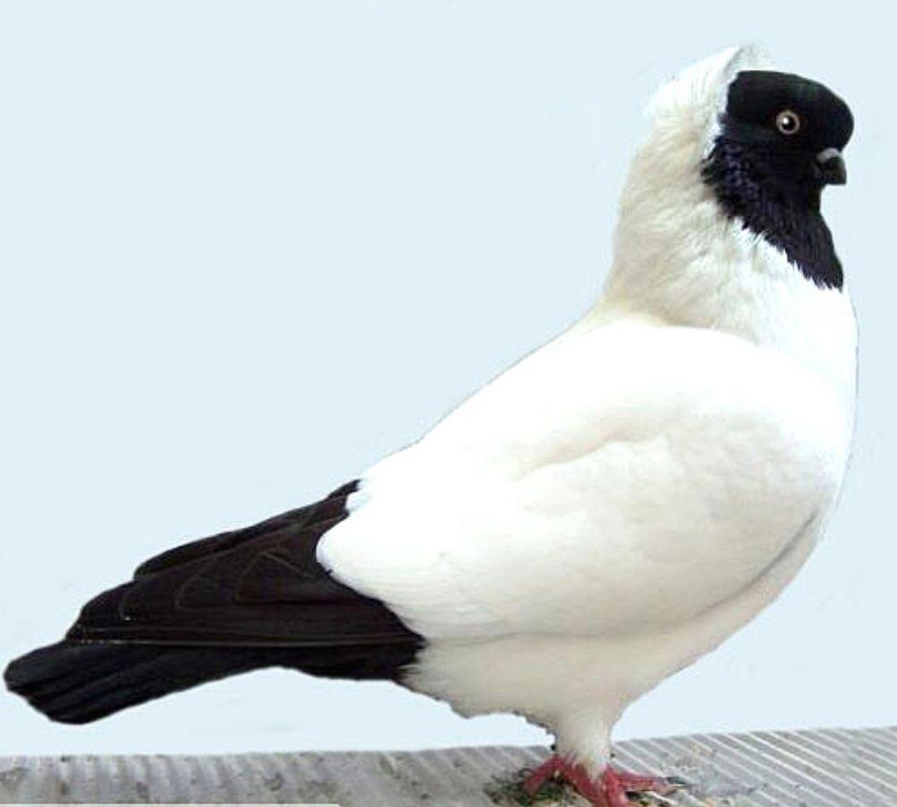 Английский крестовый голубь
