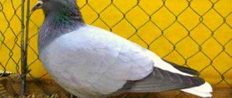 Аргавский белохвостый голубь